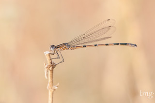 Common Bluet (macho/male)
