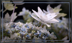 Shooting Star Hydrangea 2 (ladyinpurple) Tags: pspxi photofiltr hydrangea shootingstar