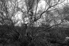 sOLACE sOUGHT iN a sONORAN sTORM 5 (wNG555) Tags: 2017 apachejunction apachetrail superstitionmountain superstitionwilderness sonorandesert desert cactus sky storm clouds winter olympusfzuikoautos38mmf18 bw arizona phoenix