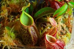 nepenthes gymnamphora (venwu225) Tags: nepenthes pitcher plants life green soul fashion carnivorous captive