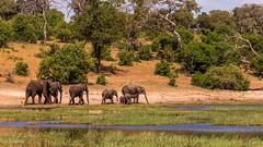Elephants @ Chobe National Park, Botswana (x_tan) Tags: africa elephant northwest botswana kasane choberiver chobenationalpark canoneos5dmarkiii canonextenderef14xiii canonef100400mmf4556lisiiusm