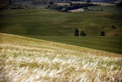 Campo y espigas (Bichuas (E. Carton)) Tags: verde green field wheat heat campo dorado trigo calor navarra safecreative muzqui