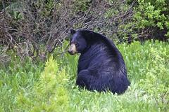 IMG_8477 (A.Connah) Tags: bear wild summer canada wildlife blackbear banffnationalpark