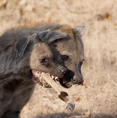 Hyenas Fighting Over a Bone (lucky_tom_2000) Tags: africa animals nikon safari d750 hyena carnivore hyenas