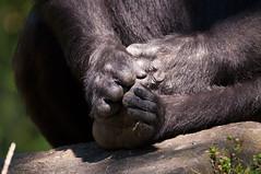 Djambalas Feet (Sebastian Niedlich (Grabthar)) Tags: berlin animal germany deutschland nikon gorilla tamron westernlowlandgorilla zooberlin 2015 d90 july15 berlinerzoo flachlandgorilla gorillagorillagorilla grabthar sebastianniedlich nikond90 westlicherflachlandgorilla djambala tamronsp150600mmf563divcusd