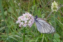 Aporia-crataegi_2 (amadej2008) Tags: white blackveinedwhite aporiacrataegi aporia belinke taxonomy:binomial=aporiacrataegi baumweisling belinka glogovabelinka