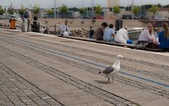 City walk along the blue line (Stefan Sellmer) Tags: de deutschland seagull kiel schleswigholstein bootshafen