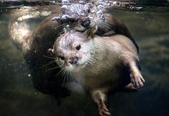 Summer Fun (IMG_0655) (katalin_kerekes) Tags: water swim otter asiansmallclawedotter otterfamily aonyxcinereus smithsoniansnationalzoo