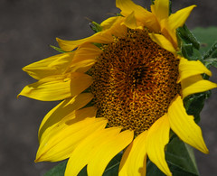 Sunny Crown (TPorter2006) Tags: brown flower field yellow golden texas july sunflower hillsboro 2015 aquilla tporter2006