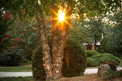 The golden hour (Lauren Marmor) Tags: trees plants sun star golden hour birch burst