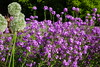 Allium and Phlox (Dave Roberts3) Tags: park flowers white wales garden purple cardiff glamorgan phlox allium roath supershot citrit