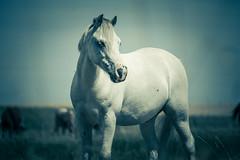 IMG_4093.jpg (GaLaPe_BG) Tags: summer horses nature beauty animals cheval photography photo