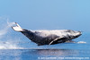 Ha'apai Humpback Whale Breach 3 (roukaf1) Tags: ocean nature animal outdoors islands wildlife environment habitat marinemammal breach southpacificocean haapai kingdomoftonga cetecean joncornforthimages humpbackwhalemegapteranovaeangliae