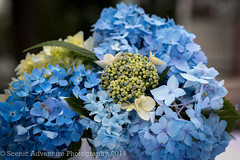 Hydrangea Flower Center Piece (Southern New England Photography) Tags: flowers blue summer usa color america canon ma healthy bush unitedstates massachusetts unitedstatesofamerica newengland bloom northamerica flowering hydrangea blooming hingham canonef24105mmf4lisusm eos70d