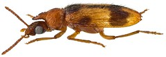 Notoxus appendicinus Desbrochers, 1874 (lateral view) (urjsa) Tags: insect insekt kfer coleoptera kaefer kasachstan anthicidae kazaksthan coleopteraus taxonomy:family=anthicidae notoxus taxonomy:genus=notoxus notoxusappendicinus appendicinus taxonomy:species=appendicinus taxonomy:binomial=notoxusappendicinus geo:country=kazaksthan