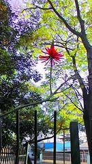 Mulungu (Jos Argemiro) Tags: flores flor erythrina vermelha candelabro mulungu florvermelha corticeira erythrinafalcata suin florcandelabro