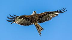 Startled Kite (davidrhall1234) Tags: bird birds raptor birdsofprey redkite harewood rspb birdsofbritain coth5
