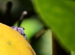 Araa limonero (Mnica Molinari) Tags: verde green spider lemon amarillo yelow araa insecto araneae limn limonero artrpodos