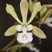 Encyclia ambigua – Maryanne Kind