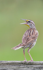 Eastern Meadowlark (TomLamb47) Tags: nature florida wildlife oxford eastern meadowlark sumtercounty eame melonfields