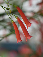 P8040454 Russelia equisetiformis.jpg (JorunT) Tags: sommer hellas 2015 russeliaequisetiformis