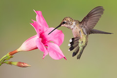 Black-chinned Hummingbird (Eric Gofreed) Tags: arizona hummingbird ngc sedona mybackyard villageofoakcreek blackchinnedhummingbird yavapaicounty