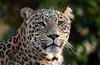 persian leopard Beekse Bergen JN6A6102 (j.a.kok) Tags: panter panther perzischepanter persianleopard pantherapardussaxicolor predator roofdier zoogdier mammal kat cat azie asia iran beeksebergen
