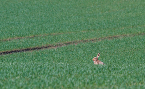 Hare near Ladby