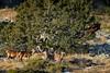 Harde de biches un peu perdues (Patrice Baud) Tags: harde biche cerf cervus reddeer deer hirsch ciervo mammifère herbivore montagne cerdagne pyrénées wild wildlife nikon nikkor300f4