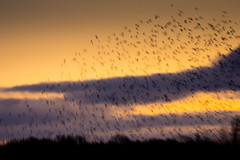 Brockholes November 2016-8335 (James Carlsson) Tags: d7200 starling brockholes nikon tamron 150 600mm murmuration