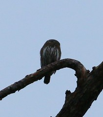 Northern Pygmy-Owl (tombenson76) Tags: northernpygmyowl glaucidiumgnoma sangabrielmountains