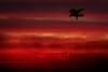 IMG_1512 Crow's silhouette (Rodolfo Frino) Tags: fauna animal bird crow cuervo blackbird flight evening sunset dusk atardecer anochecer grass plant plants sky cloud clouds nube nubes cielo ciel natural natur nature naturaleza sydney australia mystic mistico