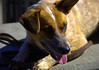 One Ear Up (swong95765) Tags: dog canine ear panting animal pet content cute