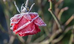 Friday's Flower Power... (Rainer Fritz) Tags: rose raureif rot natur garten whitefrost