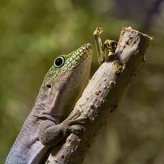 Banded Day Gecko (FocusPocus Photography) Tags: streifentaggecko bandeddaygecko gecko tier animal reptil reptile phelsumalineata reptilium landau