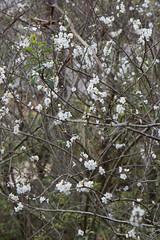 IMG_7859 (armadil) Tags: plum plumtree plumtrees flower flowers plumflowers