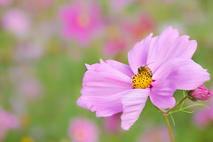 early spring (sunnyha) Tags: flower plant bee spring earlyspring beautyinnature beautiful outdoors day sunny sunnyha cosmos nature pink canon eosm5 closeup photographier photograph photographer flor flowers bloom blossom color colours colorful 中国 夢里水鄉 花 植物 攝影 秗英 波斯菊 寫真 佳能 戶外 春天