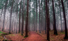 Fog (patkelley3) Tags: spruce trees fall autumn cold path forest nature