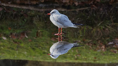 Mirror on the lake (Franck Zumella) Tags: bird seagull mouette lac lake frozen gele ice glace reflection reflexion colors couleurs green red rouge vert
