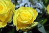 Yellow Rose  (9) (John Carson Essex UK) Tags: thegalaxy thegalaxystars rainbowofnature supersix sta