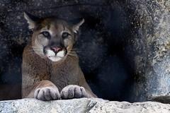 Cougar Hiding in a Cave (Eric Kilby) Tags: dallas zoo cat bigcat puma cougar