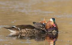 Mandarin Ducks (tickspics ) Tags: aixgalericulata cairinini eyeworthpond fritham hampshire mandarinduck newforest perchingducks uk