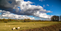 From the road to Wistow (Peter Leigh50) Tags: wistow sheep trees train field farmland hedge copse sky clouds cement ews dbs shed class 66 railway landscape skyscape