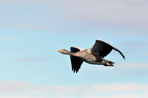 Oie Cendrée en vol, 2015 Iceland (Greylag Goose in flight)