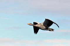 Oie Cendrée en vol, 2015 Iceland (Greylag Goose in flight)