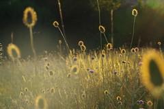 Goyrans (31) (FloLfp) Tags: toulouse 31 france soleil coucher ombre