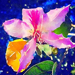 Bauhinia Flower A neighbor has a small stand of this tree in their front yard and it reliably blooms every year. It even throws off a great number of seeds. Which I have used to start my own trees. #tree #trees #bauhinia #flowers #watercolor #nature #art (dewelch) Tags: ifttt instagram bauhinia flower a neighbor has small stand this tree their front yard it reliably blooms every year even throws off great number seeds which i have used start own trees flowers watercolor nature art la losangeles california iglosangeles whereamila instalosangeles caligrammers lagrammers losangelesgrammers discoverla conquerla unlimitedlosangeles californiacaptures uglagrammers ignaturelovers ignaturepictures ignaturesbest 24earth