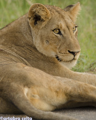 Female Lion (artabracelta) Tags: lion leona leon cat safari kruger southafrica sudafrica africa naturaleza animal beauty belleza nature sunset sunrise travel viaje adventure nikon d5100 tele teleobjetivo tamron 70300 mamifero retrato portrait