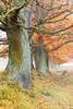 Herbstbäume (blichb) Tags: nebel laub herbst natur baum herbstlaub 2011 aumühle canon50d blichb wentorferlohe