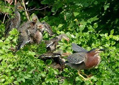 Heron, Green  - Family 6-6-2015 10-49-52 AM (Nuthatch in VA) Tags: green heron 5 chicks benbrenmanpark
